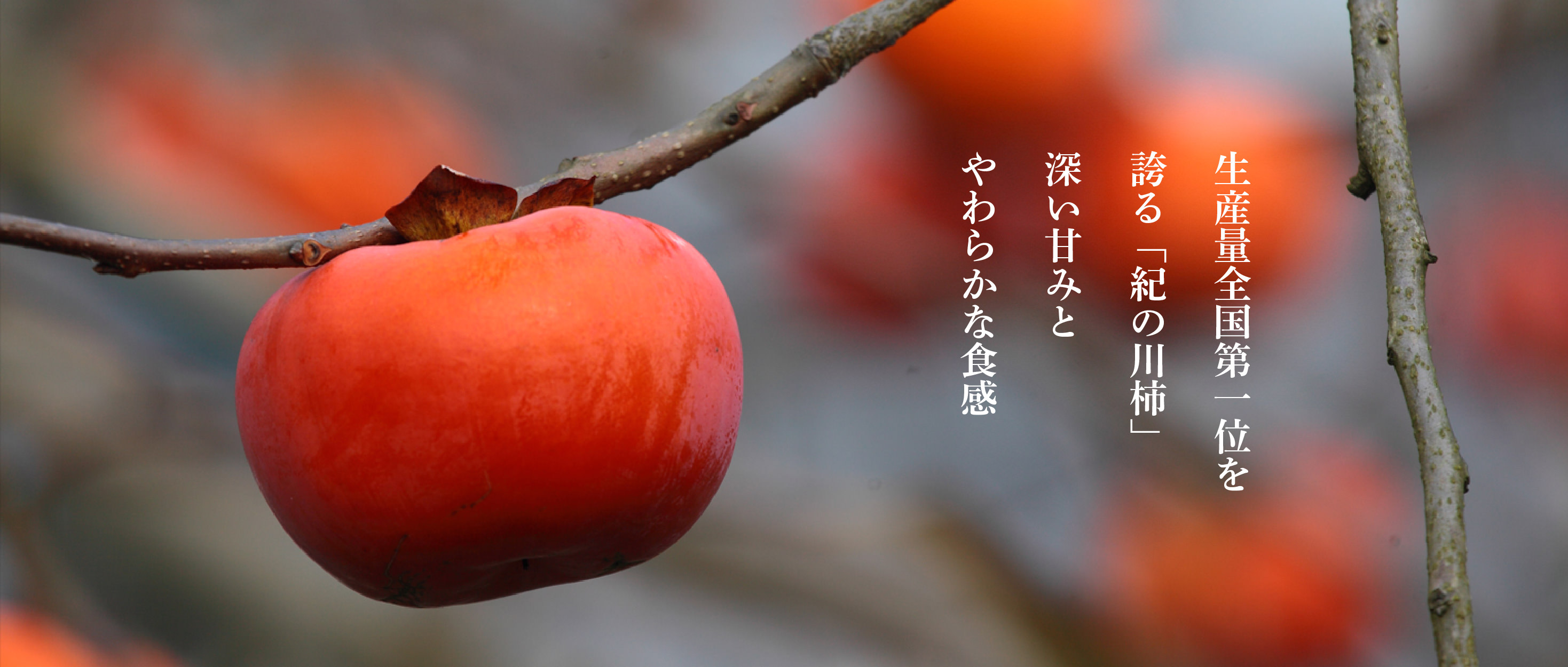 生産量全国第一位を誇る「紀の川柿」 深い甘味とやわらかな食感