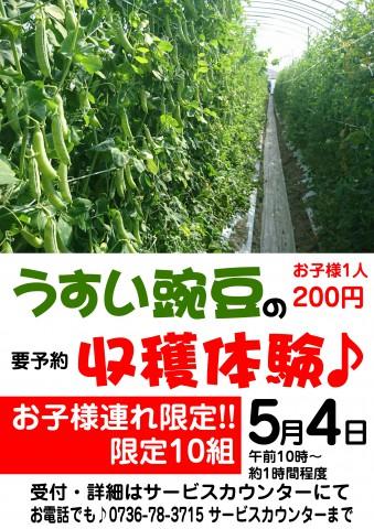 うすい豌豆収穫体験 copy