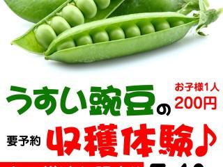 うすい豌豆収穫体験!!