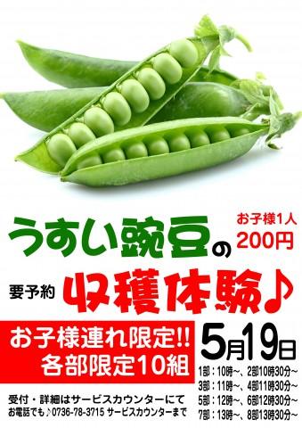 うすい豌豆収穫体験19日